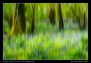 Bluebell Woods Abstract
