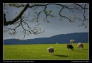 Sheep Of Spring